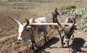 Halefum Hargo kyntää kuivaa peltoaan kesäsateiden toivossa.