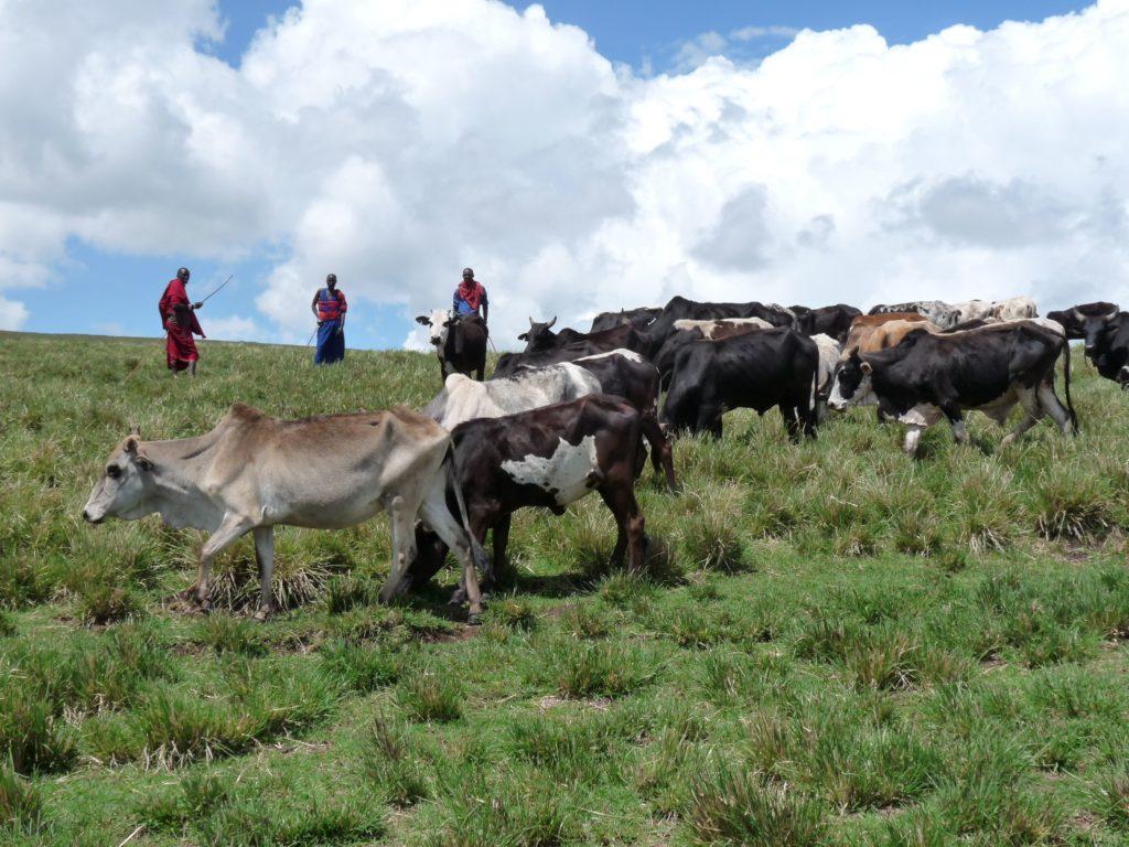 Kolme masaiasuun pukeutunutta paimentolaista vartioi lehmiä vihreällä laitumella.