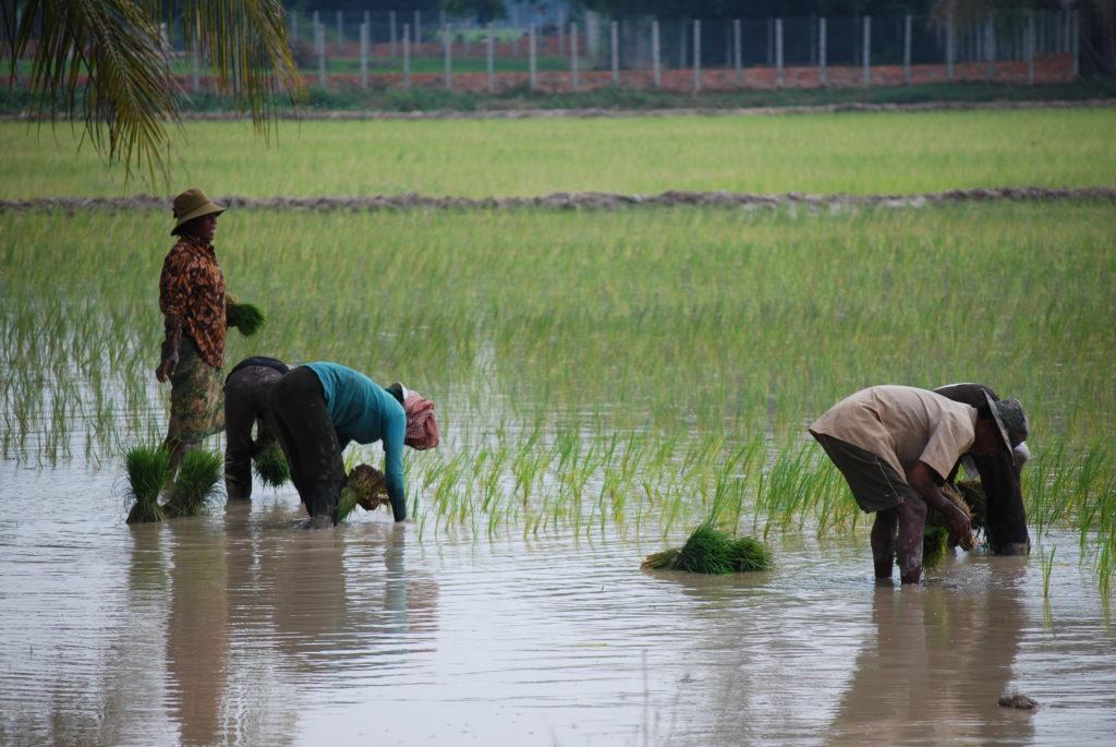Naisia riisipellolla