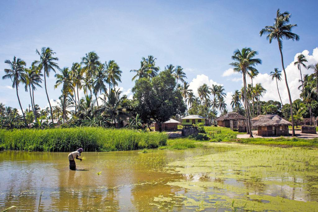 Nainen riisipellolla, taustalla majoja ja palmuja.