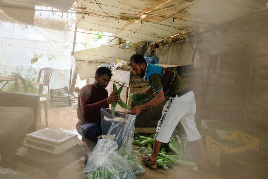 Kaksi miestä pakkaa kasviksia muovisäkkiin.