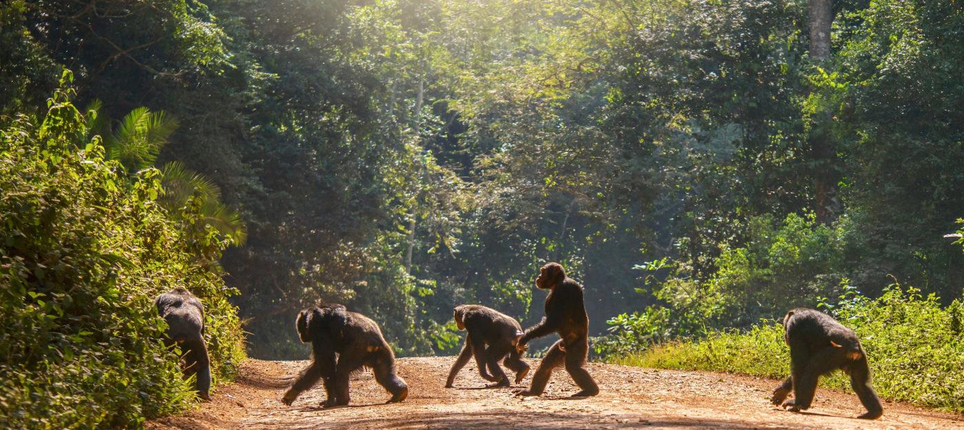 Joukko simpnasseja ylittää metsätietä